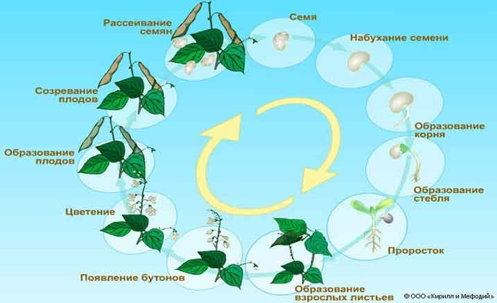 Цикл развития растений от